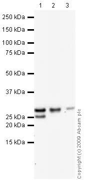 Western blot - Hsp27 antibody (ab1426)