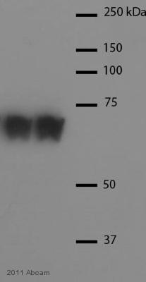 Western blot - Hsc70 antibody (ab1427)