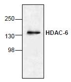 Western blot - HDAC6 antibody (ab1440)