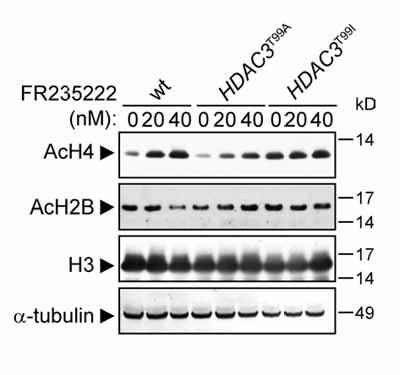 Western blot - Histone H2B (acetyl) antibody - ChIP Grade (ab1759)