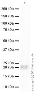 Western blot - Anti-TIMP1 antibody [102D1] (ab1827)