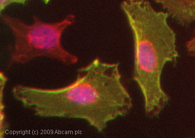 Immunocytochemistry/ Immunofluorescence - MUC16 antibody [X75] (ab10029)