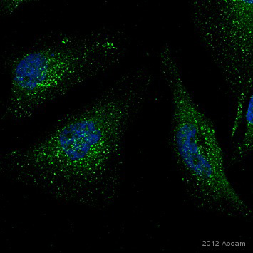 Immunocytochemistry/ Immunofluorescence - Anti-VPS35 antibody (ab10099)
