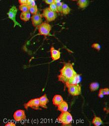 Immunocytochemistry/ Immunofluorescence - KA1 antibody (ab10101)