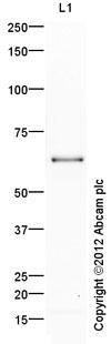 Western blot - Anti-HIF3 alpha antibody (ab10134)