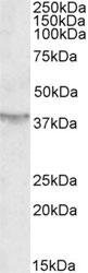 Western blot - Anti-SIRT4 antibody (ab10140)