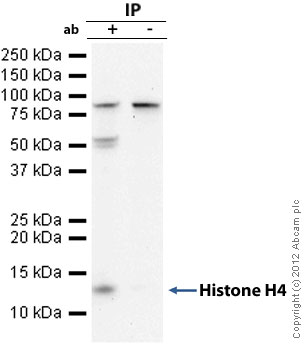 Immunoprecipitation - Anti-Histone H4 antibody (ab10158)