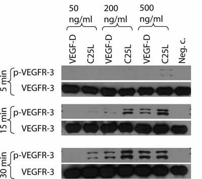Immunoprecipitation - VEGF Receptor 3 antibody (ab10284)
