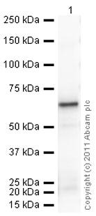 Western blot - Anti-ERp57 antibody (ab10287)