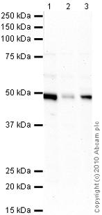 Western blot - TXNDC5 antibody (ab10292)
