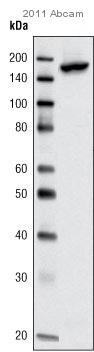 Immunoprecipitation - KAT13A / SRC1 antibody (ab10308)