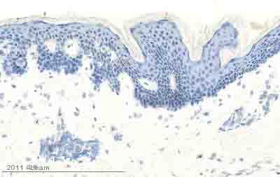 Immunohistochemistry (Frozen sections) - EGF antibody [EGF-10] (ab10409)