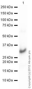Western blot - Anti-CBX1 / HP1 beta  antibody (ab10478)