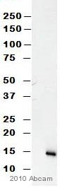 Western blot - Angiogenin antibody [14017.7] (ab10600)