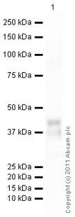 Western blot - Anti-CCN3 antibody (ab10888)