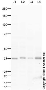 Western blot - XAF1 antibody (ab100837)