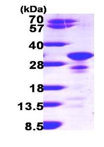SDS-PAGE - Secretogranin V protein (ab100887)