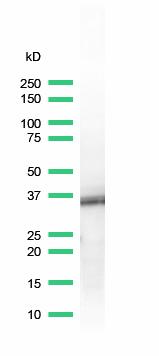 Western blot - BOB1 antibody [SP92], prediluted (ab100903)