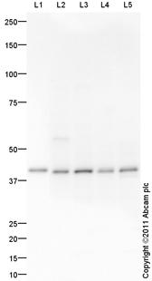 Western blot - GDAP1 antibody (ab100905)