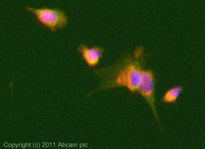 Immunocytochemistry/ Immunofluorescence - Anti-GDAP1 antibody (ab100905)