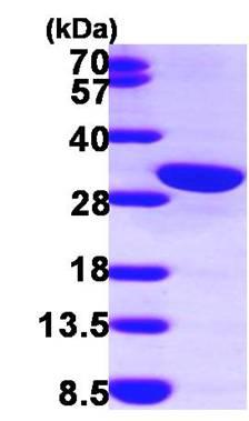 SDS-PAGE - Calretinin protein (ab100941)