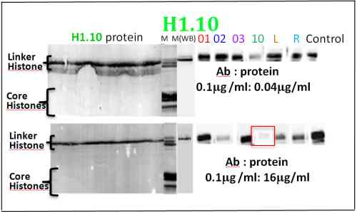 Western blot - Histone H1.10 antibody - ChIP Grade (ab100947)