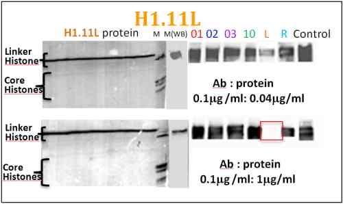 Western blot - Histone H1.11L antibody - ChIP Grade (ab100948)