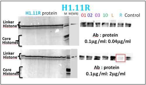 Western blot - Histone H1.11R antibody - ChIP Grade (ab100950)