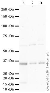 Western blot - Anti-VDAC2 antibody (ab100956)