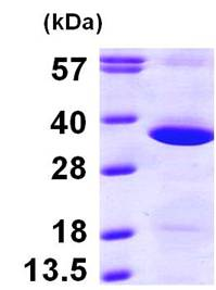 SDS-PAGE - GNPDA1 protein (ab100960)