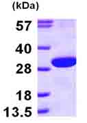 SDS-PAGE - ECHS1 protein (ab100962)