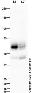 Western blot - Anti-UGT8 antibody (ab100964)