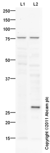 Western blot - GLUT12 antibody (ab100993)