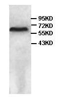 Western blot - CRMP4 antibody (ab101009)