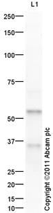 Western blot - Anti-BMP6 antibody (ab101056)
