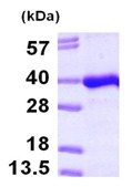 SDS-PAGE - PITPNB protein (ab101091)