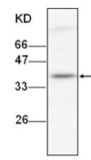 Western blot - ITLN1 antibody [17] (ab101101)