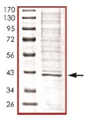 SDS-PAGE - SIRT2 protein (ab101132)