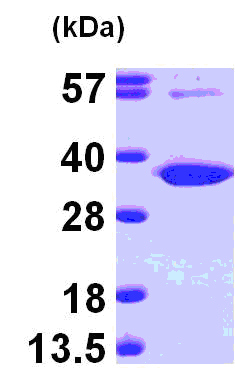 SDS-PAGE - Uridine Phosphorylase 1 protein (ab101152)