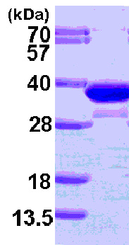 SDS-PAGE - ECH1 protein (ab101154)