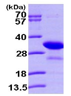 SDS-PAGE - PHAP1 protein (ab101155)