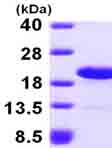 SDS-PAGE - LSM1 protein (ab101157)