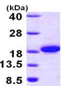 SDS-PAGE - THEM2 protein (ab101158)
