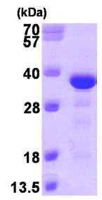 SDS-PAGE - EB3 protein (ab101197)