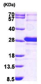 SDS-PAGE - GRPEL1 protein (ab101203)