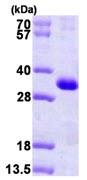 SDS-PAGE - CSEN protein (ab101211)
