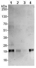 Western blot - MAX antibody (ab101271)