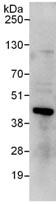 Immunoprecipitation - RING2 / RING1B / RNF2 antibody (ab101273)