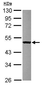 Western blot - SERGEF antibody (ab101340)