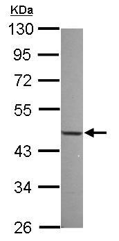 Western blot - NFIX antibody (ab101341)